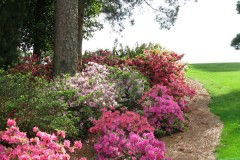 Azaleas at Augusta National Golf Course during The Masters